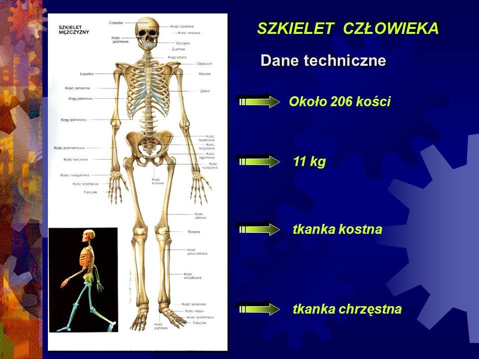 SZKIELET CZŁOWIEKA Dane techniczne Około 206 kości 11 kg tkanka kostna tkanka chrzęstna