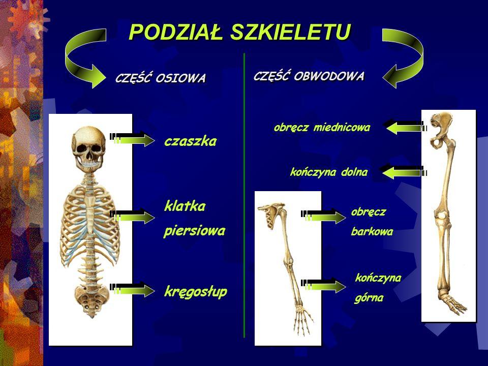 PODZIAŁ SZKIELETU CZĘŚĆ OSIOWA CZĘŚĆ OBWODOWA czaszka kręgosłup klatka piersiowa obręcz miednicowa obręcz barkowa kończyna dolna kończyna górna