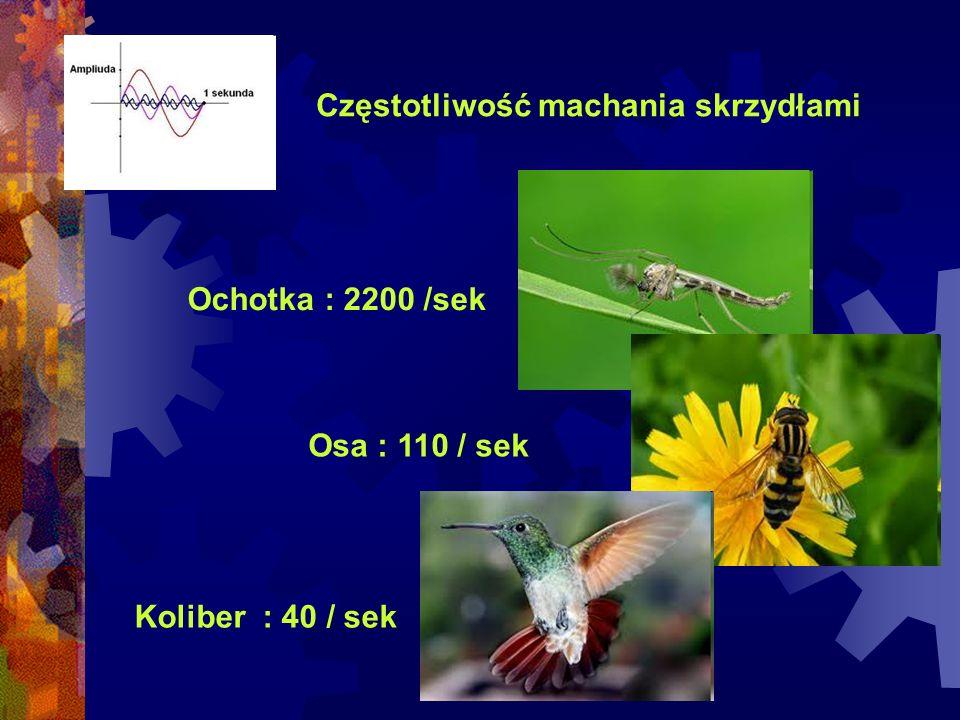 Częstotliwość machania skrzydłami Ochotka : 2200 /sek Osa : 110 / sek Koliber : 40 / sek