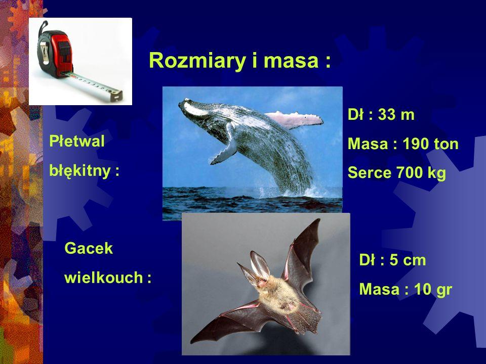 Rozmiary i masa : Płetwal błękitny : Dł : 33 m Masa : 190 ton Serce 700 kg Gacek wielkouch : Dł : 5 cm Masa : 10 gr