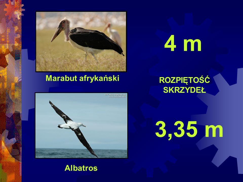 Marabut afrykański Albatros ROZPIĘTOŚĆ SKRZYDEŁ 4 m 3,35 m