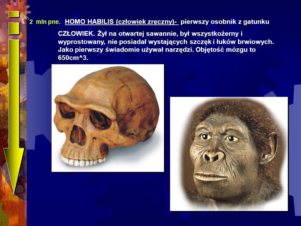 2 mln pne.HOMO HABILIS (człowiek zręczny)- pierwszy osobnik z gatunku CZŁOWIEK.