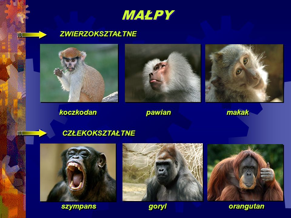 MAŁPY ZWIERZOKSZTAŁTNE makak koczkodan pawian CZŁEKOKSZTAŁTNE orangutan szympans goryl