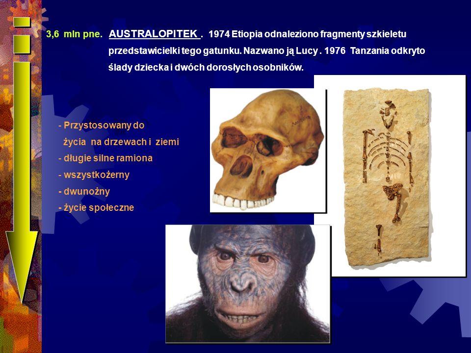 Australophitecus anamensis Australophitecus africanus 2,5 mln pne