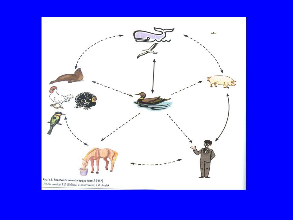 W jaki sposób dochodzi do dużych zmian antygenowych – czyli skoku antygenowego (shift) .