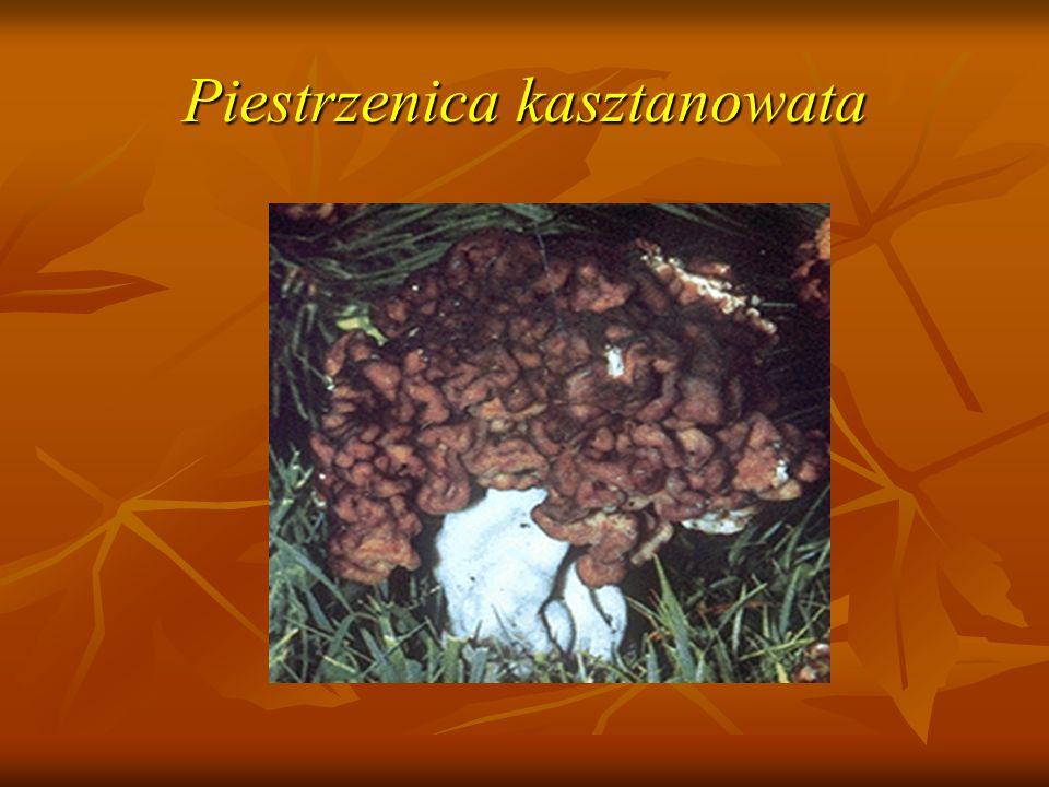 Piestrzenica kasztanowata