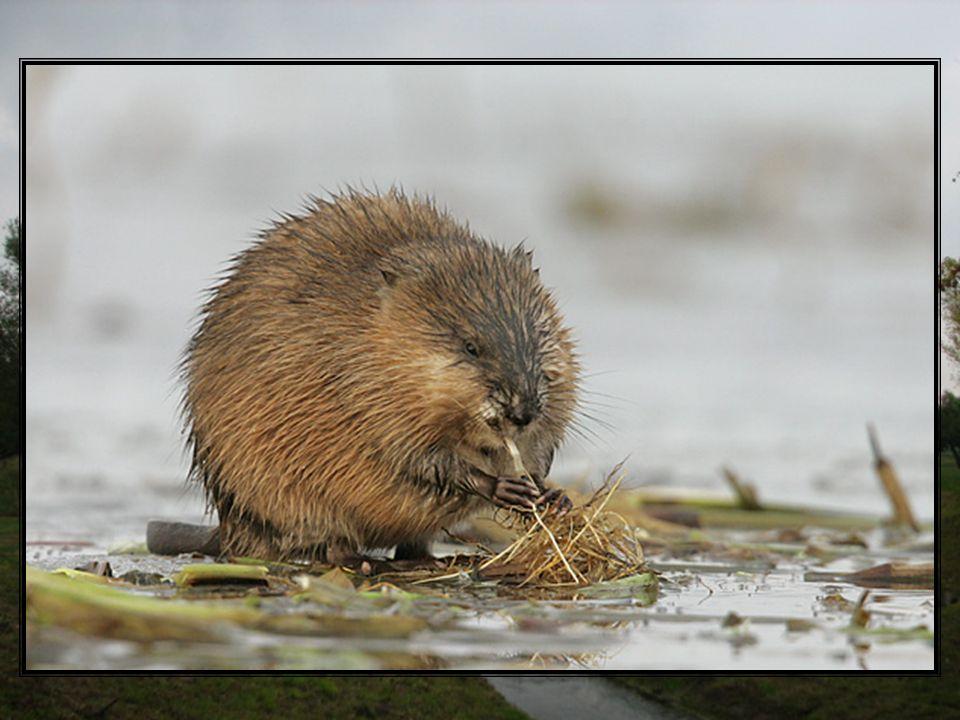 Piżmak należy do zwierząt ziemno-wodnych żyjących w koloniach. Jego siedliskami są rzeki różnego typu wód. W wysokich brzegach piżmaki kopią nory do k