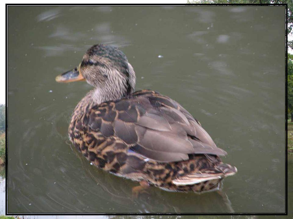 Kaczka krzyżówka jest to najpospolitszy gatunek kaczki występujący w Polsce. Można ją spotkać na prawie wszystkich zbiornikach wodnych. Zamieszkuje na