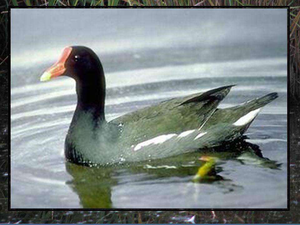 Kokoszki wodne są w Polsce dość licznymi ptakami lęgowymi. Żyją nad wodami. Bardzo lubią stare zarastające stawy, zakola na wolno płynących rzekach or