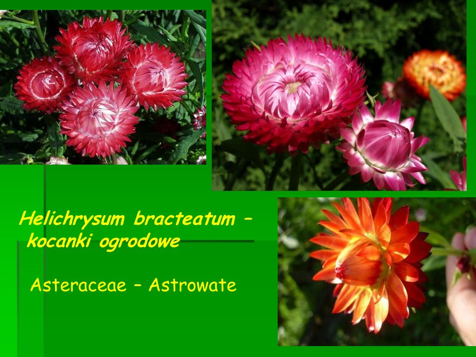 Helichrysum bracteatum – kocanki ogrodowe Asteraceae – Astrowate