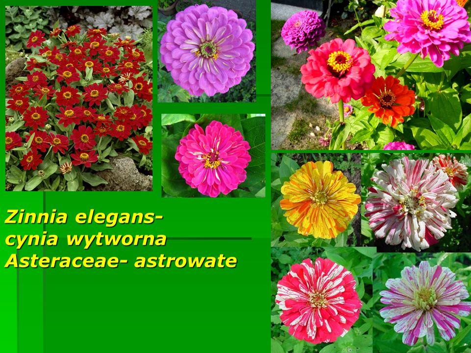 Zinnia elegans- cynia wytworna Asteraceae- astrowate