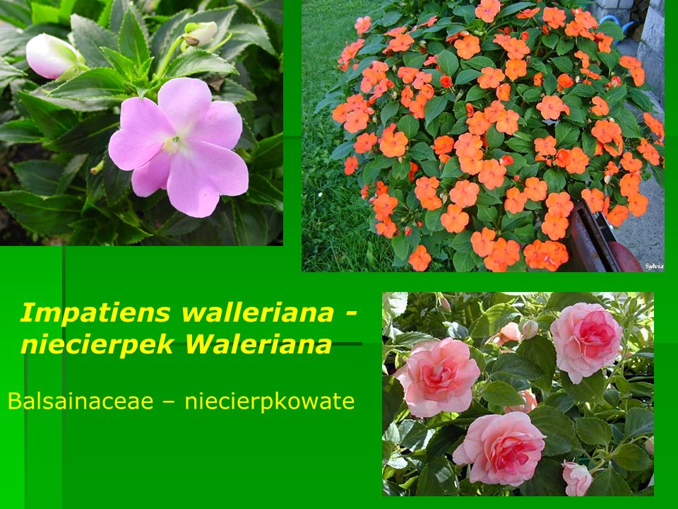 Impatiens walleriana - niecierpek Waleriana Balsainaceae – niecierpkowate
