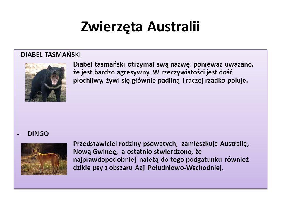Zwierzęta Australii - DIABEŁ TASMAŃSKI Diabeł tasmański otrzymał swą nazwę, ponieważ uważano, że jest bardzo agresywny. W rzeczywistości jest dość pło