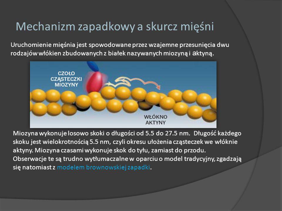 Uruchomienie mięśnia jest spowodowane przez wzajemne przesunięcia dwu rodzajów włókien zbudowanych z białek nazywanych miozyną i a ktyną. Mechanizm za