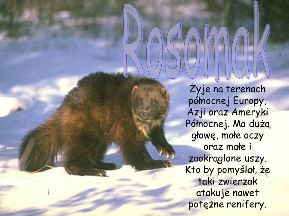 Żyje na terenach północnej Europy, Azji oraz Ameryki Północnej.