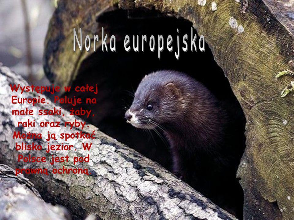 Występuje w całej Europie.Poluje na małe ssaki, żaby, raki oraz ryby.