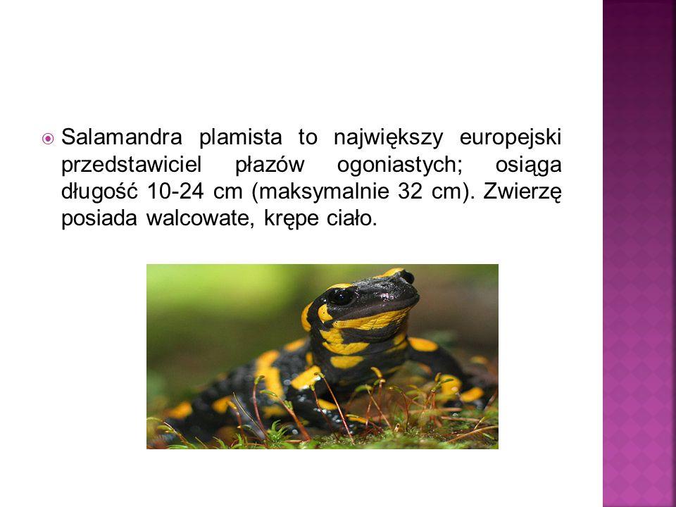 Salamandra plamista to największy europejski przedstawiciel płazów ogoniastych; osiąga długość 10-24 cm (maksymalnie 32 cm). Zwierzę posiada walcowate