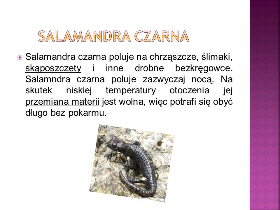Salamandra czarna poluje na chrząszcze, ślimaki, skąposzczety i inne drobne bezkręgowce. Salamndra czarna poluje zazwyczaj nocą. Na skutek niskiej tem