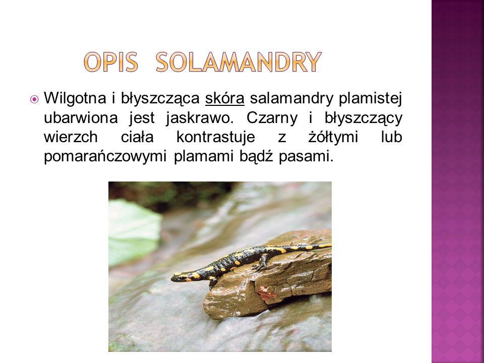 Wilgotna i błyszcząca skóra salamandry plamistej ubarwiona jest jaskrawo. Czarny i błyszczący wierzch ciała kontrastuje z żółtymi lub pomarańczowymi p
