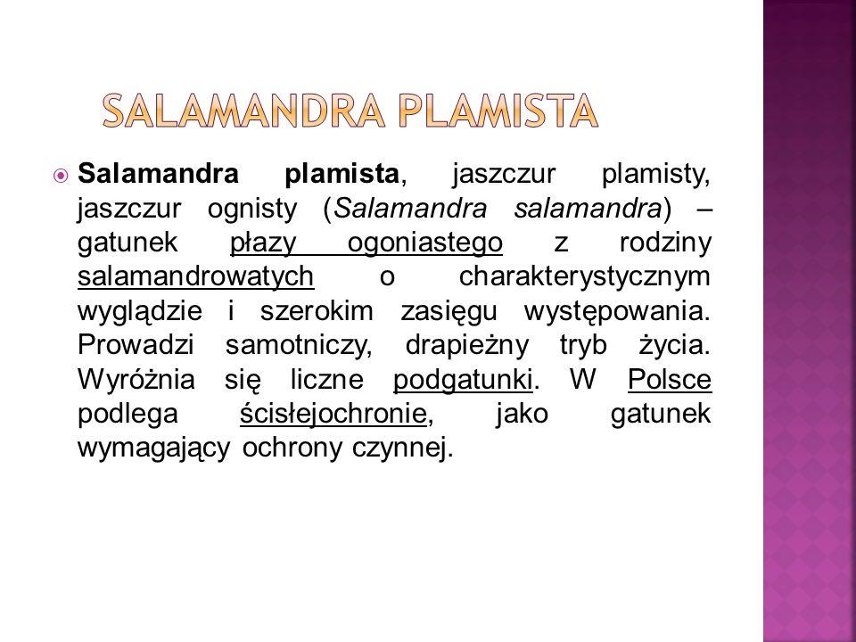 Salamandra plamista, jaszczur plamisty, jaszczur ognisty (Salamandra salamandra) – gatunek płazy ogoniastego z rodziny salamandrowatych o charakteryst