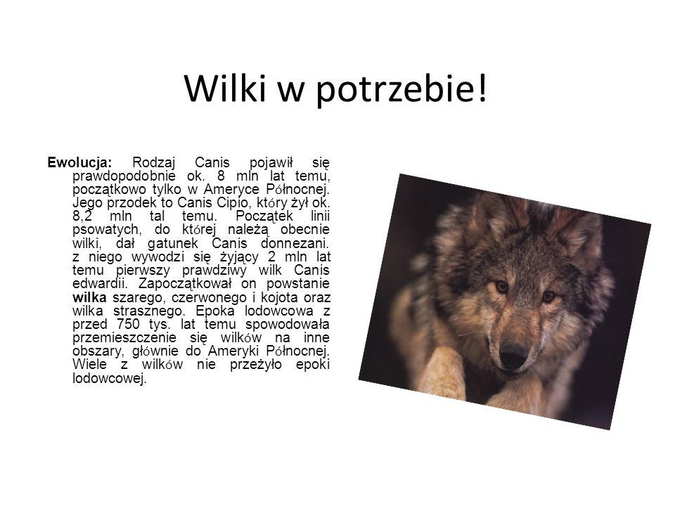 Wilki w potrzebie! Ewolucja: Rodzaj Canis pojawił się prawdopodobnie ok. 8 mln lat temu, początkowo tylko w Ameryce P ó łnocnej. Jego przodek to Canis