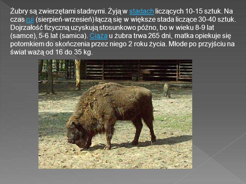 Żubry są zwierzętami stadnymi. Żyją w stadach liczących 10-15 sztuk. Na czas rui (sierpień-wrzesień) łączą się w większe stada liczące 30-40 sztuk. Do