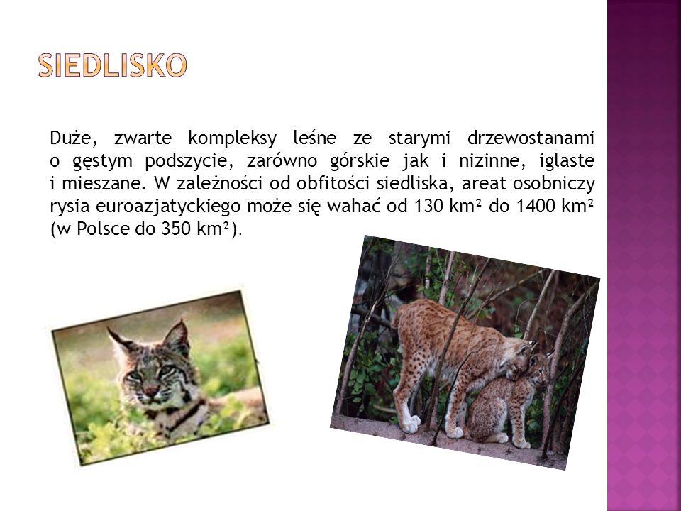 Ryś euroazjatycki jest największym przedstawicielem rodzaju Lynx.