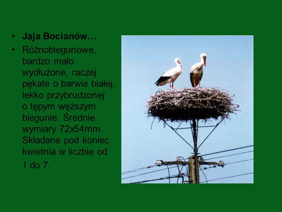Jaja Bocianów… Różnobiegunowe, bardzo mało wydłużone, raczej pękate o barwie białej, lekko przybrudzonej o tępym węższym biegunie. Średnie wymiary 72x