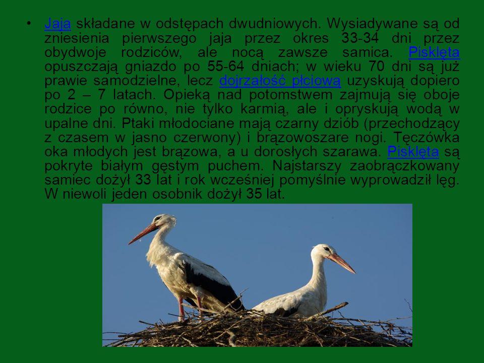 POŻYWIENIE Bocian jest ptakiem mięsożernym.