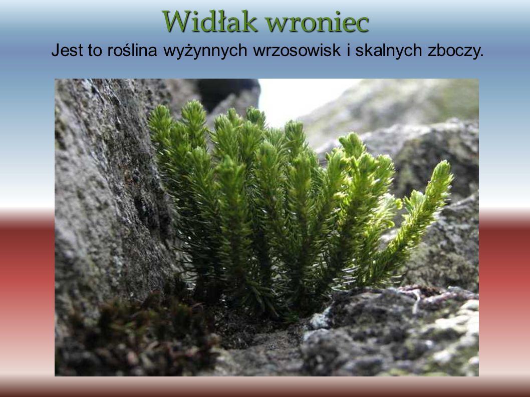 Widłak wroniec Jest to roślina wyżynnych wrzosowisk i skalnych zboczy.