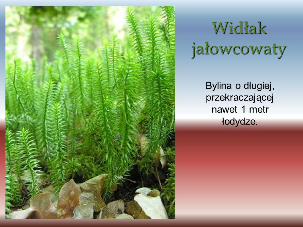 Widłak jałowcowaty Bylina o długiej, przekraczającej nawet 1 metr łodydze.