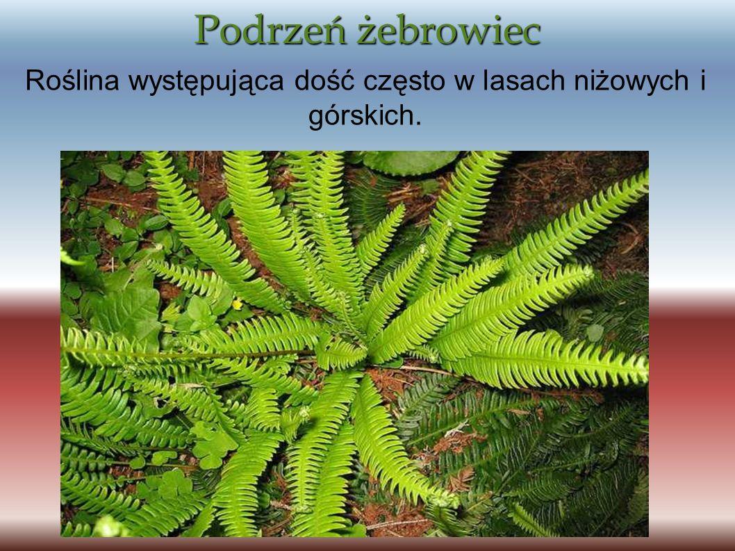Podrzeń żebrowiec Roślina występująca dość często w lasach niżowych i górskich.