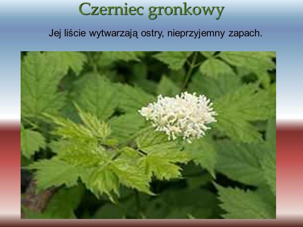 Czerniec gronkowy Jej liście wytwarzają ostry, nieprzyjemny zapach.