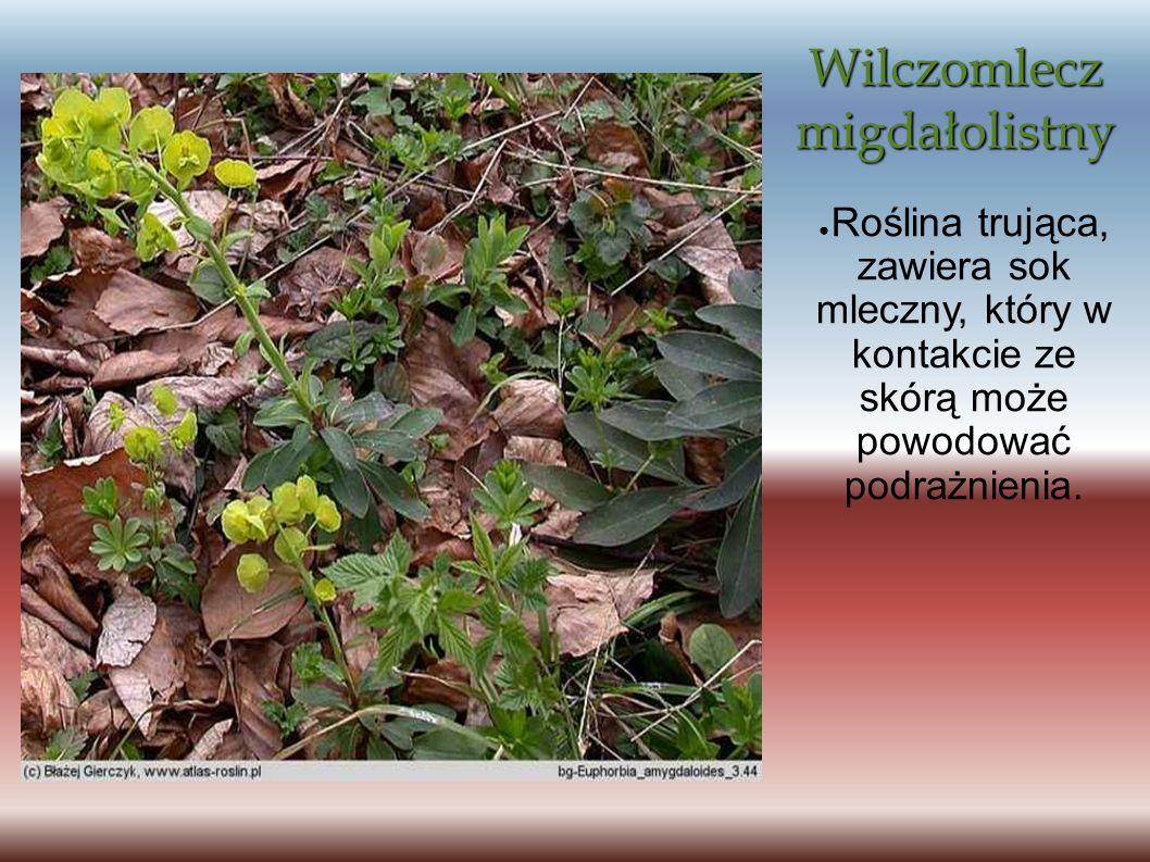 Wilczomlecz migdałolistny Roślina trująca, zawiera sok mleczny, który w kontakcie ze skórą może powodować podrażnienia.