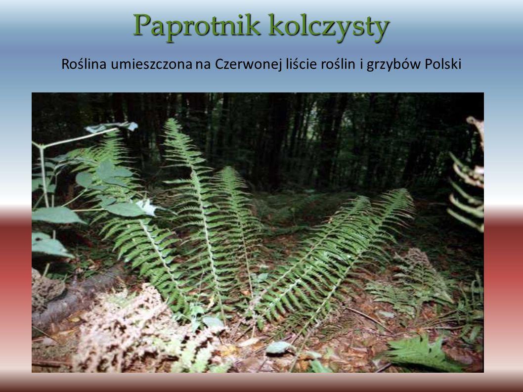 Paprotnik kolczysty Roślina umieszczona na Czerwonej liście roślin i grzybów Polski