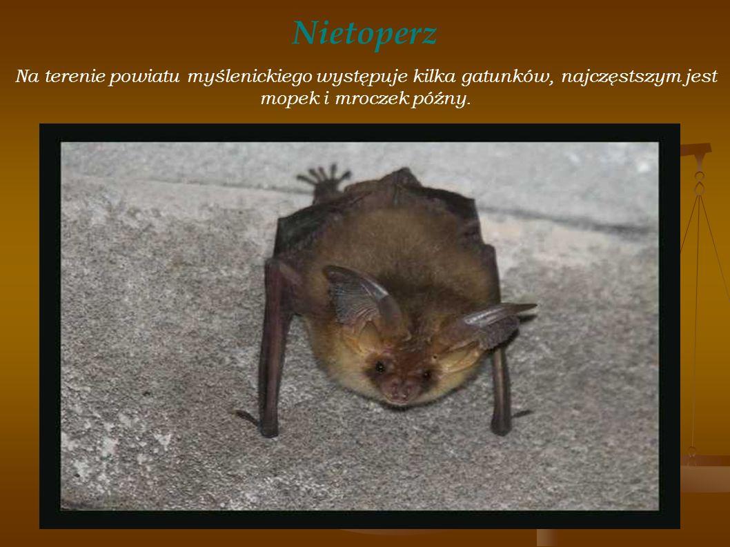 Nietoperz Na terenie powiatu myślenickiego występuje kilka gatunków, najczęstszym jest mopek i mroczek późny.