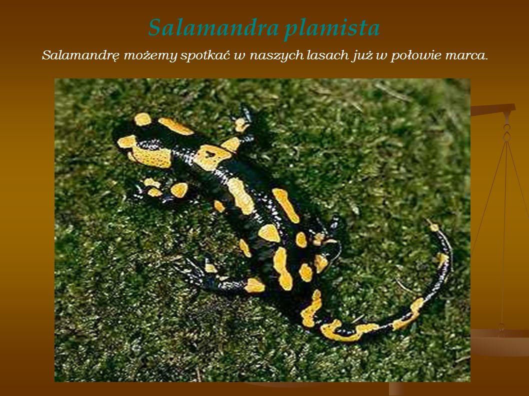 Salamandra plamista Salamandrę możemy spotkać w naszych lasach już w połowie marca.