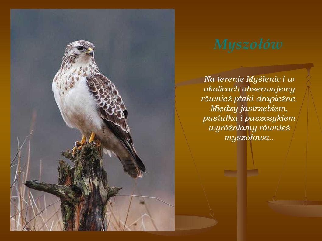 Myszołów Na terenie Myślenic i w okolicach obserwujemy również ptaki drapieżne. Między jastrzębiem, pustułką i puszczykiem wyróżniamy również myszołow
