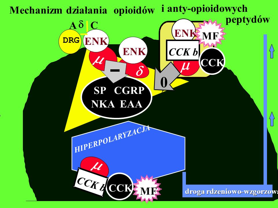 DRG Mechanizm działania opioidów A C EAA SP CGRP NKA EAA ENK droga rdzeniowo-wzgorzowa MF ENK CCK HIPERPOLARYZACJA CCK b ENK CCK b MF 0 CCK peptydów i