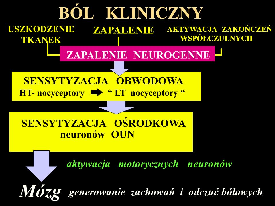 Róg przedni I II III IV V VI VII VIII IX A C kora mózgowa wzgórze