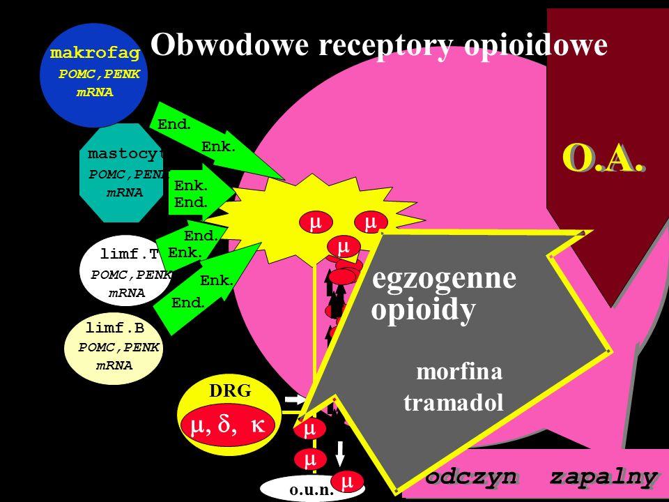 O.A. odczyn zapalny stres CRF IL-1 DRG Obwodowe receptory opioidowe o.u.n. DRG mastocyt makrofag limf.T limf.B Enk. End. Enk. End... Enk.. POMC,PENK m