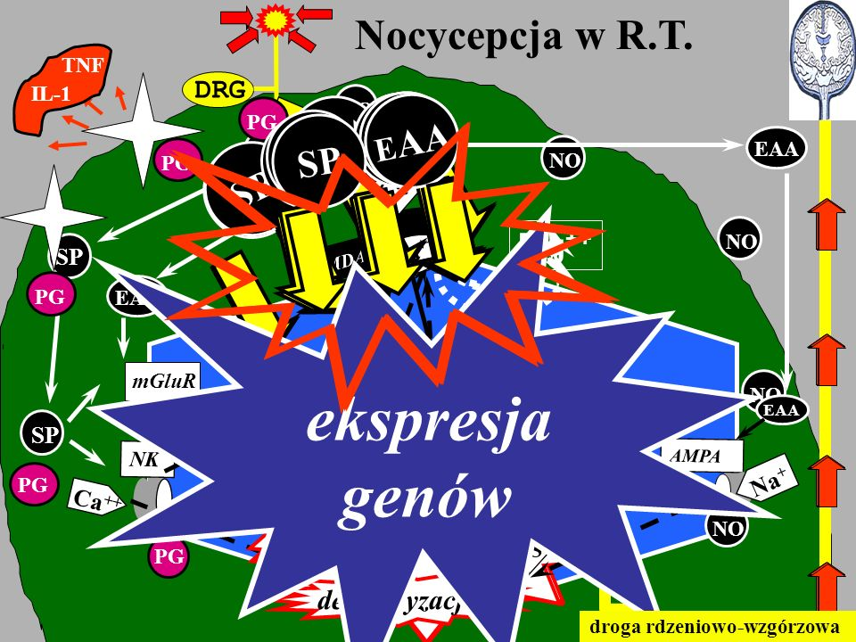 DRG Nocycepcja w R.T. SP EAA NMDA mGluR AMPA NK EAA SP Ca ++ PLC Ca PKC DAG IP3 RE depolaryzacja AA PLA2 COX2 PG PG NO NOS NO Ca ++ Mg ++ Ca ++ NO EAA