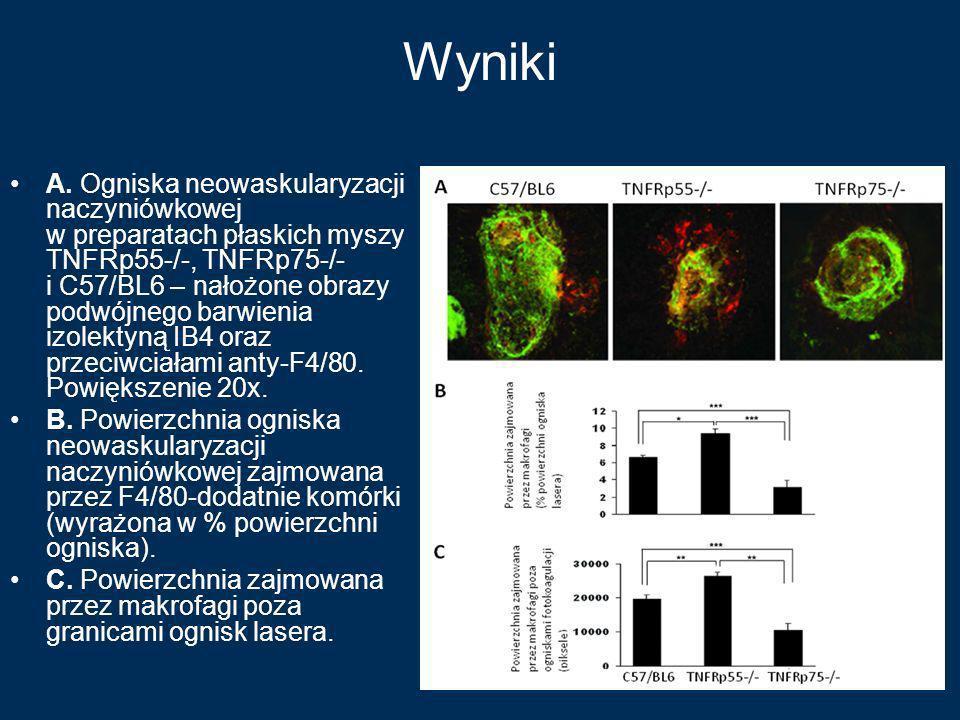 Wyniki A. Ogniska neowaskularyzacji naczyniówkowej w preparatach płaskich myszy TNFRp55-/-, TNFRp75-/- i C57/BL6 – nałożone obrazy podwójnego barwieni