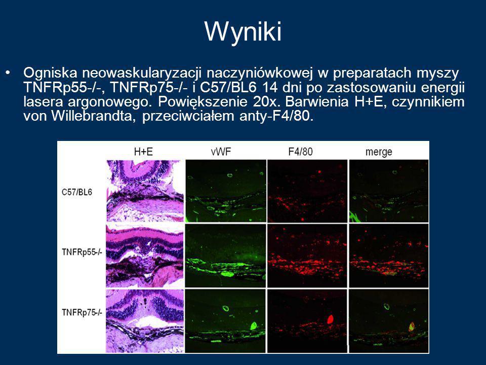 Wyniki Ogniska neowaskularyzacji naczyniówkowej w preparatach myszy TNFRp55-/-, TNFRp75-/- i C57/BL6 14 dni po zastosowaniu energii lasera argonowego.