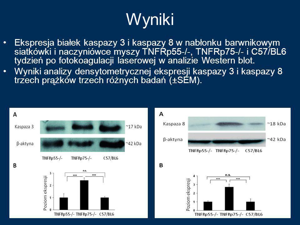 Wyniki Ekspresja białek kaspazy 3 i kaspazy 8 w nabłonku barwnikowym siatkówki i naczyniówce myszy TNFRp55-/-, TNFRp75-/- i C57/BL6 tydzień po fotokoa