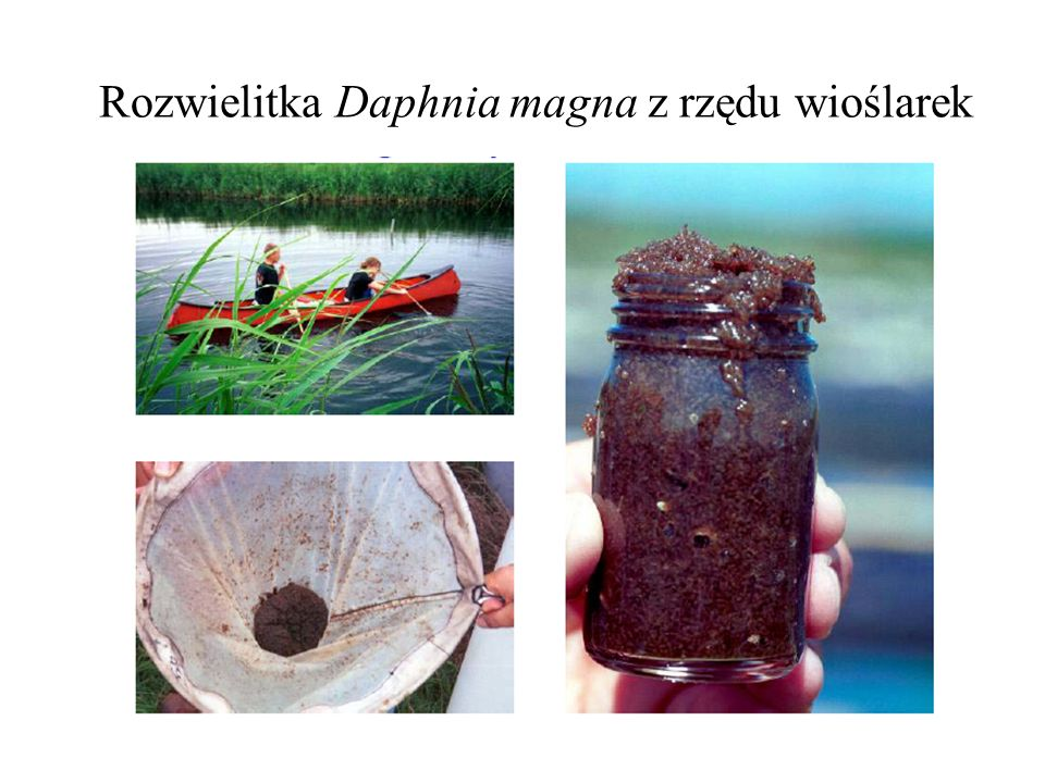 Rozwielitka Daphnia magna z rzędu wioślarek