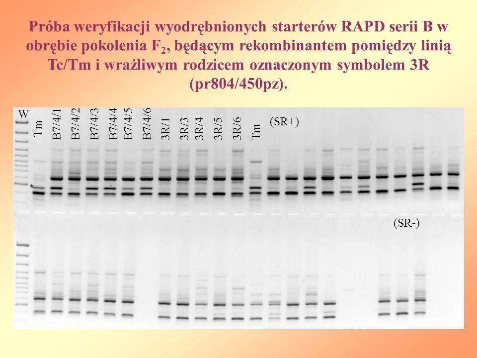 Próba weryfikacji wyodrębnionych starterów RAPD serii B w obrębie pokolenia F 2, będącym rekombinantem pomiędzy linią Tc/Tm i wrażliwym rodzicem oznac