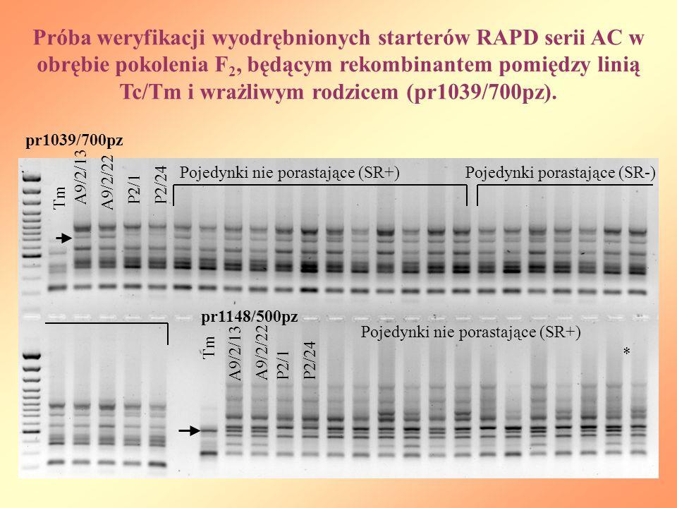 Próba weryfikacji wyodrębnionych starterów RAPD serii AC w obrębie pokolenia F 2, będącym rekombinantem pomiędzy linią Tc/Tm i wrażliwym rodzicem (pr1039/700pz).