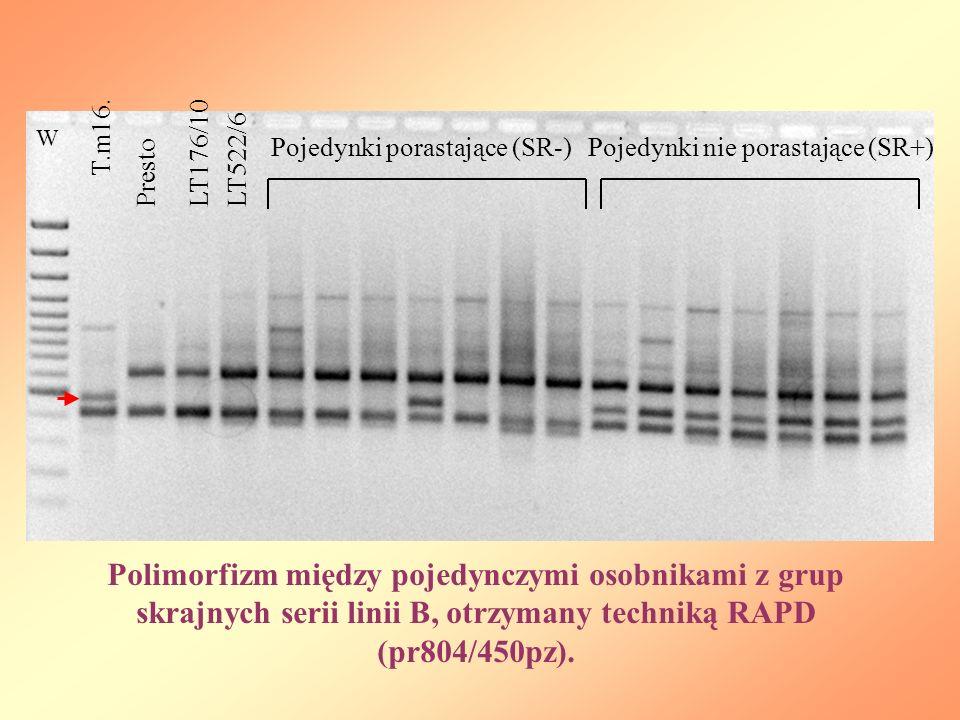 W T.m16. Presto LT176/10LT522/6 Pojedynki porastające (SR-)Pojedynki nie porastające (SR+) Polimorfizm między pojedynczymi osobnikami z grup skrajnych