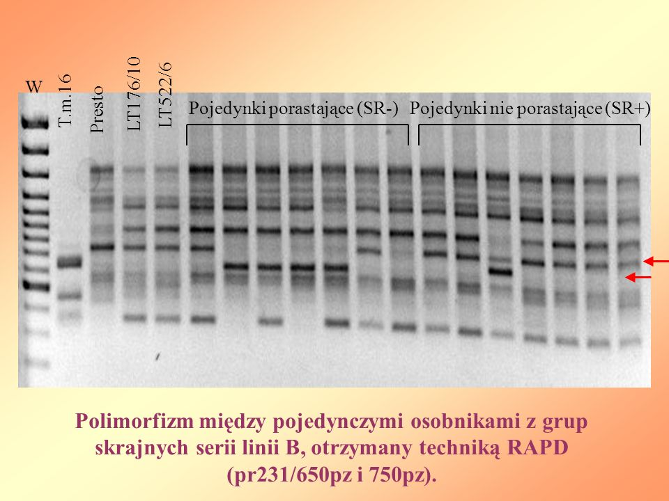 W T.m.16 Presto LT176/10 LT522/6 Pojedynki porastające (SR-)Pojedynki nie porastające (SR+) Polimorfizm między pojedynczymi osobnikami z grup skrajnych serii linii B, otrzymany techniką RAPD (pr231/650pz i 750pz).